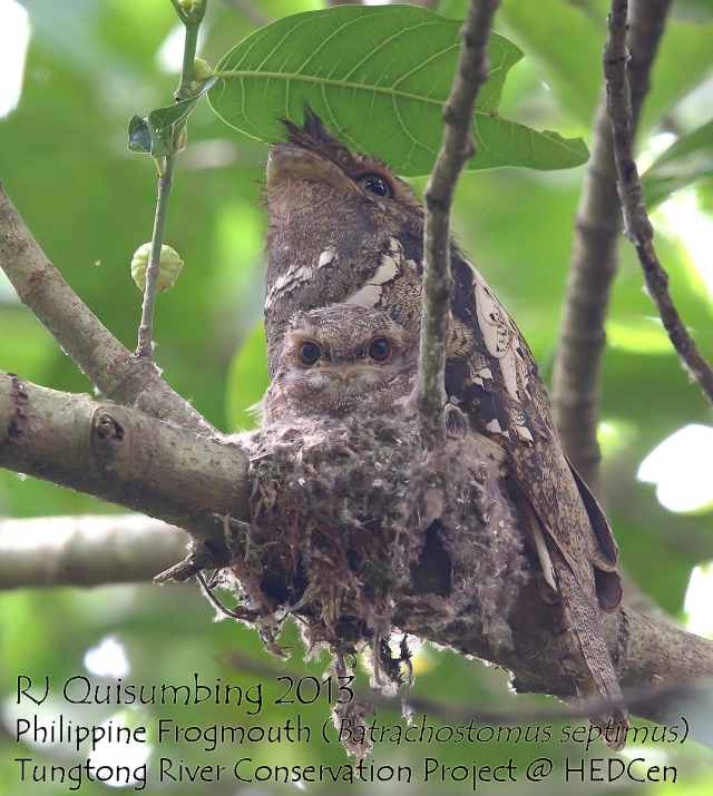 Phil frogmouth RJ Quisumbing watermarked